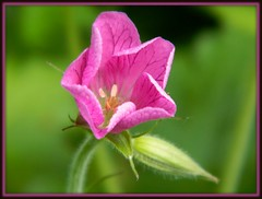 If you dont take a chance, you dont stand a chance. (careth@2012) Tags: geranium memberschoice awesomeblossoms amazingdetails unforgettableflowers thebestofunforgettableflowers silveramazingdetails livingjewelsofnature anaturecanvas preciouslivingjewelsofnature anaturecanvasthegallery flowerthequietbeauty