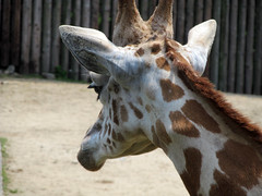 IMG_2339 (killer.kyah) Tags: animal japan zoo giraffe saitama tobu