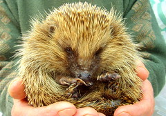 Cute Spikey Ball (Tony Worrall Foto) Tags: brown cute nature face animal ball nice hands natural north leeds sharp beast prick hedgehog pick mammals spikes claws spiny preservation supercute yorks endagered erinaceuseuropaeus subfamily erinaceinae 2013tonyworrall