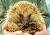 Cute Spikey Ball (Tony Worrall) Tags: brown cute nature face animal ball nice hands natural north leeds sharp beast prick hedgehog pick mammals spikes claws spiny preservation supercute yorks endagered erinaceuseuropaeus subfamily erinaceinae ©2013tonyworrall
