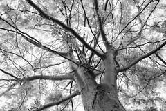 honeylocust-imperial-tree.jpg (r.nial.bradshaw) Tags: trees blackandwhite photo nikon image creativecommons stockphoto greenfilter stockphotography royaltyfree honeylocust attributionlicense nikond80 1870mmafs lightroom4 rnialbradshaw