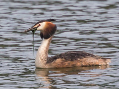 Great Crested Grebe with weed (Eiona R.) Tags: lakeside sos waterfowl greatcrestedgrebe canonef70300f4556doisusm lttf