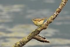 Sedge Warbler (Louise Morris (looloobey)) Tags: uw hide kingfisher perch warbler sedge sedgewarbler uptonwarren img4526 june2013