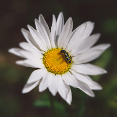Daisy A Day (John Westrock) Tags: flower nature closeup canon bug insect square daisy pacificnorthwest washingtonstate pnw canonef2470mmf28lusm canoneos7d