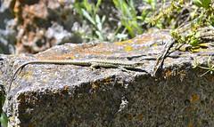 Lizard @ Church (molrydz) Tags: church lizard monastery caucasus armenia caucasusmountains arates vayotsdzormarz aratesmonastery