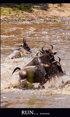 RUN... (Marcio Ruiz) Tags: africa river kenya mara crocodile massai masai maasai gnus wildebeest maasaimara crocodilo caçada marcioruiz quênia mruiz mrruiz