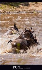 RUN... (Marcio Ruiz) Tags: africa river kenya mara crocodile massai masai maasai gnus wildebeest maasaimara crocodilo caada marcioruiz qunia mruiz mrruiz