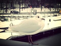Seagull in the cold (roberteklund) Tags: bridge winter snow bird birds animal closeup vinter sweden stockholm outdoor seagull sverige djurgrden nrbild djurgrdsbron 2013 uploaded:by=flickrmobile flickriosapp:filter=mammoth mammothfilter