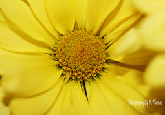 Yellow (thomask8) Tags: flowers summer plants flower macro nature floral yellow garden outdoors photography bokeh ngc daisy bloom blooming naturescenes gardennature simplyflowers mygardenschool