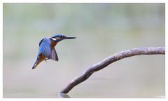 Martin pêcheur Mâle (Alcedo atthis) Kingfisher (Denis.R) Tags: france bird birds canon 300mm kingfisher vol lorraine oiseau oiseaux moselle alcedoatthis martinpêcheur denisr 5dmarkiii denisrebadj