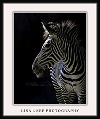Zebra ~ STL Zoo (Lisa L Kee Photography) Tags: nature wildlife zebra stlouiszoo canon7d lisalkee lisalkeephotography