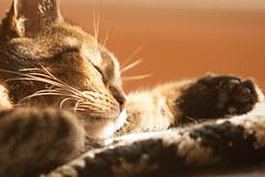 269/365. Daisy napping (imaginethat) Tags: sleeping pet cute cat canon illinois feline tabby september whiskers daisy 70200mm duquoin 2013 friendsofzeusphoebe 3652013 092613 5dmarkii thedailydaisy