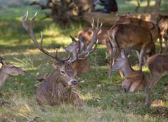 Male Deer in herd (Womblespeak) Tags: wildlife reddeer richmondpark