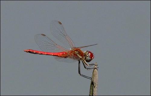 Red Basker Urothemis assignata (?)