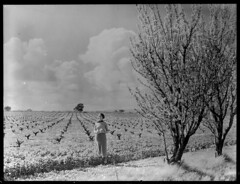 Almond trees near Brighton with vineyards in the background (State Records SA) Tags: blackandwhite vineyard brighton blossoms australia almonds historical southaustralia almondorchard frankhurley srsa staterecords staterecordsofsouthaustralia staterecordsofsa