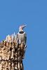 Flicker3557RR (staffordlaura1955) Tags: bird nature birds woodpecker nikon desert wildlife saguaro avian flicker d600