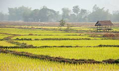 Misty Morning in Rice Fields, Laos (Oliver J Davis Photography (ollygringo)) Tags: morning travel mist nature field southeastasia rice paddy farm farming agriculture laos paddyfield oliverdavisphotography oliverjdavisphotography