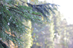 (Berge Andreas) Tags: tree nature norway spruce