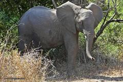 P1050048-1 (Arno Meintjes Wildlife) Tags: africa wallpaper elephant animal wildlife safari africanelephant loxodontaafricana africanbushelephant southafric arnomeintjes