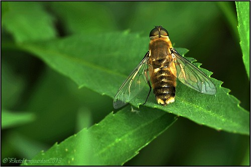 Flower-fly-(Syrphidae)?