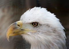 "Bald Eagle Head Profile • <a style=""font-size:0.8em;"" href=""http://www.flickr.com/photos/30765416@N06/11393020136/"" target=""_blank"">View on Flickr</a>"