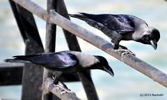 DSC_0273 (rachidH) Tags: nature birds redsea egypt corneille crow oiseaux corbeau corvus corvidae corvussplendens housecrow corvids corbeaufamilier rachidh