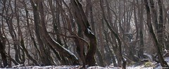many plane trees in winter (VIVIAN GEROGIANNI) Tags: trees winter light panorama plants mountain snow ice nature pine forest landscape lost leaf nationalpark woods branch many nopeople panoramic greece forms platanus inside hoods zagoria wildernessarea pindos platan zagorochoria extremeterrain