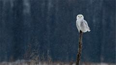 Snowy Owl (Raymond J Barlow) Tags: travel white ontario canada bird wildlife owl snowyowl raymondbarlowphototours