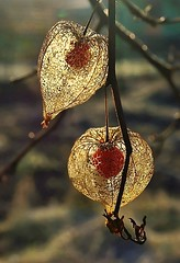 Golden physalis (mamietherese1) Tags: natureitsbest eyegrabber sublimemasterpiece sailsevenseas coppercloudsilvernsun flickrclickx