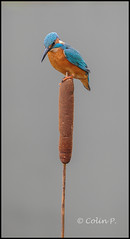Kingfisher (Alcedo atthis) (Col-Page) Tags: