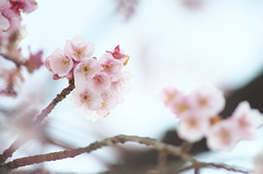 2014215 (Tokutomi Masaki) Tags: winter snow japan cherry tokyo ueno blossom walk       yanaka  2014   nedu