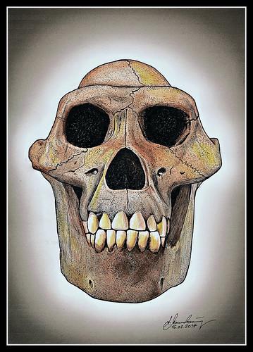 schädel australopithecus afarensis