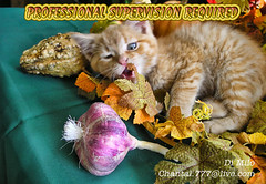 Professional Supervision Required (Chantal PhotoPix) Tags: pet cats pets canada nature animal animals fauna cat kitten feline quebec adorable kitty kittens domestic kitteh cuddly kitties gatineau felines cutecat fineartphotography cutekitten lolcat lolcats