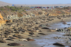 IMG_6197 Elephant Seal at Piedras Blancas (ThorsHammer94539) Tags: elephant seals blancas piedras
