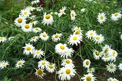 Daisies at Lake Junaluska North Carolina (MagNumbPIs) Tags: flower daisies northcarolina lakejunaluska