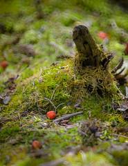 Berry Mossy (Kurayba) Tags: park canada creek lens mirror reflex log berry edmonton pentax bokeh alberta donut ravine 500 tamron f8 mossy sp2 k5 55b whitemud adaptall tamronadaptall2sp500mmf8