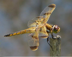 a friendly Painted skimmer (Vicki's Nature) Tags: orange brown male canon georgia wings dragonfly spots s5 biello paintedskimmer 0215 vickisnature yourockwinner readygame yourocknaturallight onemedal readymother readyupgrade