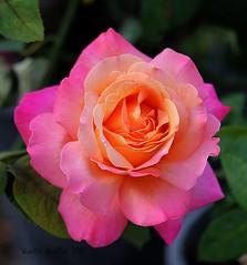 5-21-15 178 ...Faith... (KatieKal) Tags: pink orange macro rose 52115 canon60d canonf28macrolens
