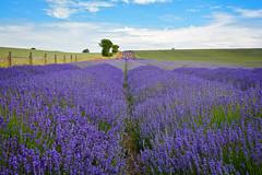 Hitchin Lavender Farm (adox66) Tags: england sky clouds garden landscape nikon lavender hertfordshire hitchin ickleford d7100 sigma1750 hitchinlavenderfarm