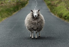 On the road ... (Richard Lynam) Tags: ireland dublin color nature animals photography wicklow lowcontrast infocus highquality mediumquality