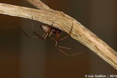 cf. Gibbaranea gibbosa (Walckenaer, 1802) (Luís Gaifém) Tags: macro spider natureza spinne araña pók spindel araignée ragno aranha voras fão pająk edderkop паук hämähäkki クモ αράχνη павук örümcek עכביש 거미 kónguló ämblik gibbaraneagibbosa zirneklis luísgaifém pnlitoralnorte tecedeiragibosa