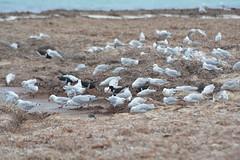 Lancelin Point, Western Australia, Silver Gulls, Pied Oystercatchers, Great Crested Terns (Nancy's ~) Tags: westernaustralia australia lancelin silvergull piedoystercatcher greatcrestedtern