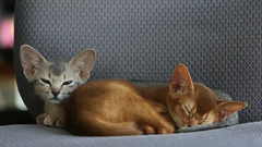 Fawn and red Abyssinian (@harryshuldman) Tags: abyssinian kitten cat red fawn blue high gait highgait canon eos 7d mark ii 100mm macro kitty clintondale new york