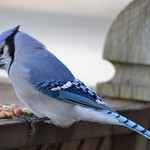 Blue Jay (I wonder how many peanuts he can cram into his mouth?) thumbnail