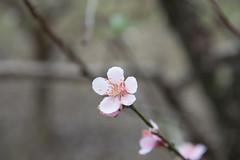 DSC_1189 (chenjn) Tags: d600 nikon 2470mm 妖怪村 柳家梅園 taiwan 信義鄉 梅花