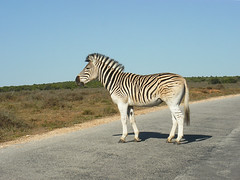 Zebra crossing :D