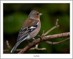Chaffinch, Mugdock (flatfoot471) Tags: 2017 bird mugdock normal robin scotland stirlingshire unitedkingdom winter gbr