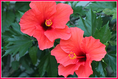 Divine Twins (bigbrowneyez) Tags: divine twins fabulous red rich flowers flickr sweet blossoms leaves amazing beautiful lovely delicate pretty petals stunning striking dedication tribute celebration inspiration fancy two fiori belle bellissime canada frame cornice nature natura