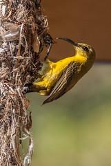 Nest (gecko47) Tags: bird sunbird yellowbelliedsunbird female nestbuilding pendant urban northqueensland townsville nectoriniajugularis olivebackedsunbird