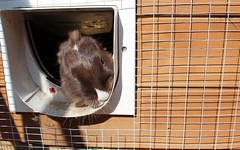 052 (Jen-Bunoffee66) Tags: bunnies lionhead